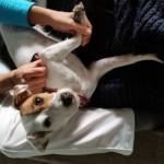 Zippie intermittenti cane: come è guarito il campione italiano agility
