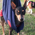 Ernia cervicale del Pinscher Beppe