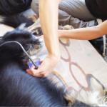 Lussazione anca cane: fisioterapia veterinaria