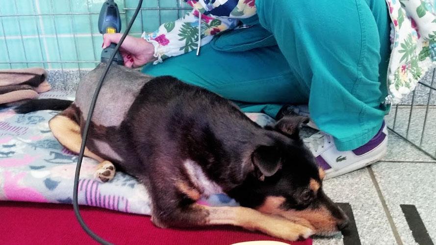 riabilitazione cani post-operatoria con laser