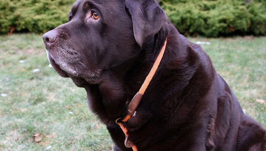 Cani obesi: come è dimagrito il labrador Shiloh