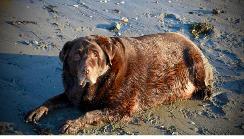 cani obesi: il caso shiloh