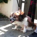 cani di piccola taglia ernia