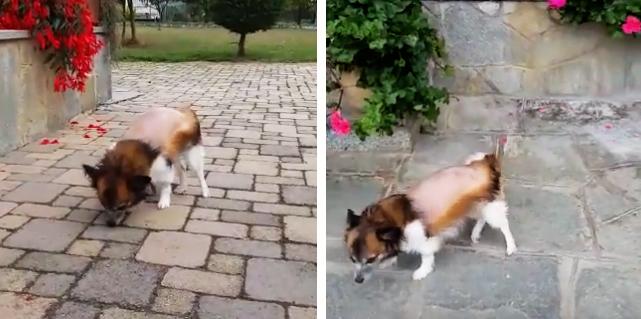 cani-di-piccola-taglia-ernia-guarigione