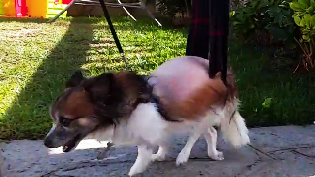 ernia toraco lombare cani piccolissimi