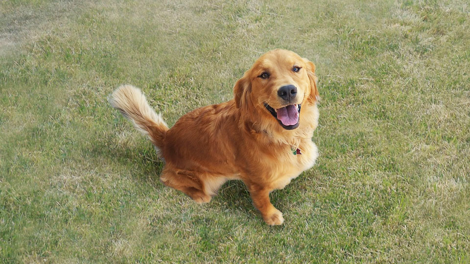 Displasia dell'anca nel cane Golden Retrivier