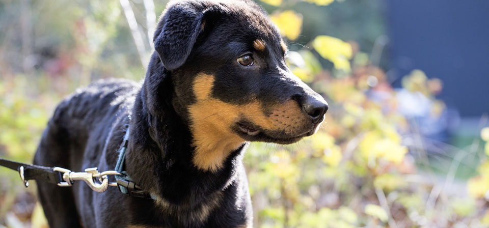 Displasia dell'anca nel cane Rottweiler
