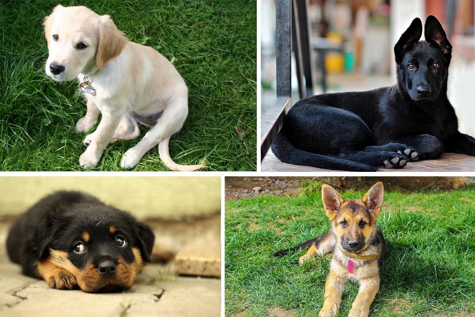 displasia anca cane cuccioli razze