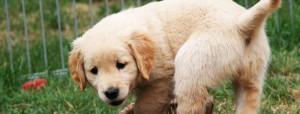 Displasia dell'anca del cane cucciolo