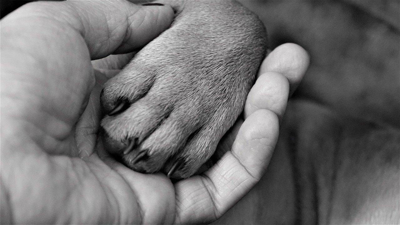 Tendinite del cane zampa bulldog