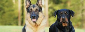 Displasia dell'anca del cane adulto