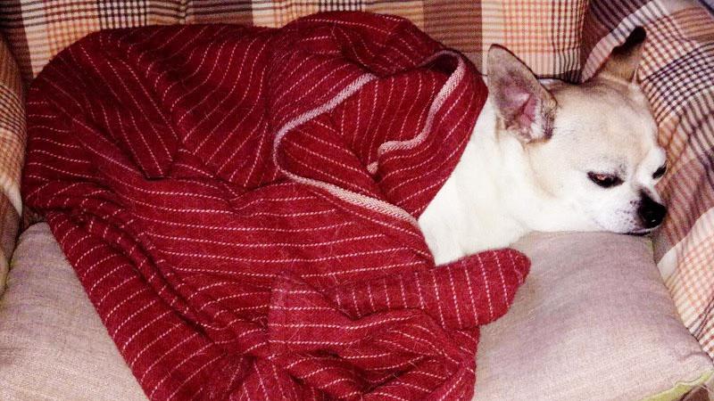 Lussazione della rotula del cane Chihuahua