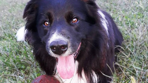 Tendinite del cane sportivo bordercollie