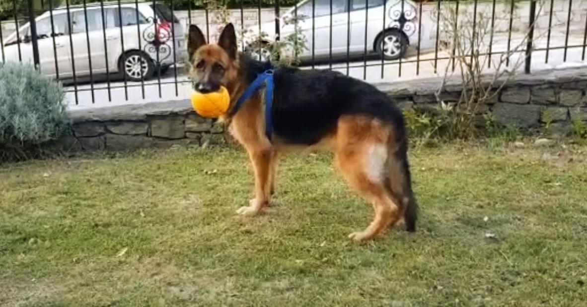 Ernia del cane pastore tedesco guarita