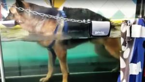 Tapis roulant in acqua per cani per curare ernia del cane