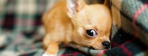 il chihuahua zoppica: cause e terapie