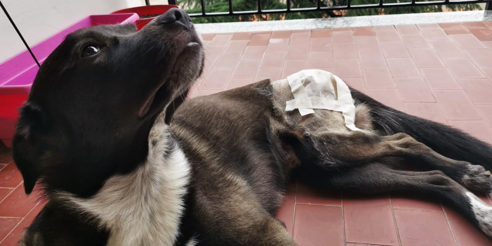 fasciatura-lussazione-dell-anca-del-cane