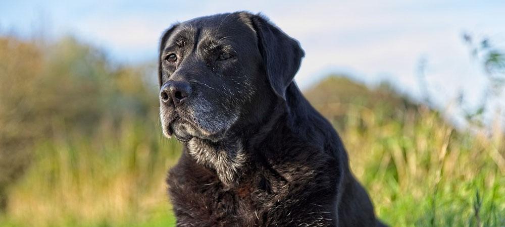 Artrosi nel cane anziano