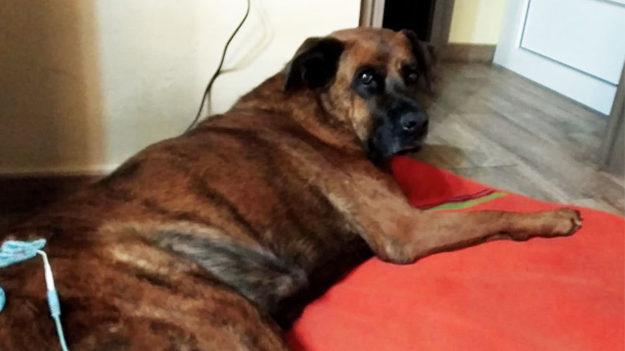fisioterapia del cane paraplegico