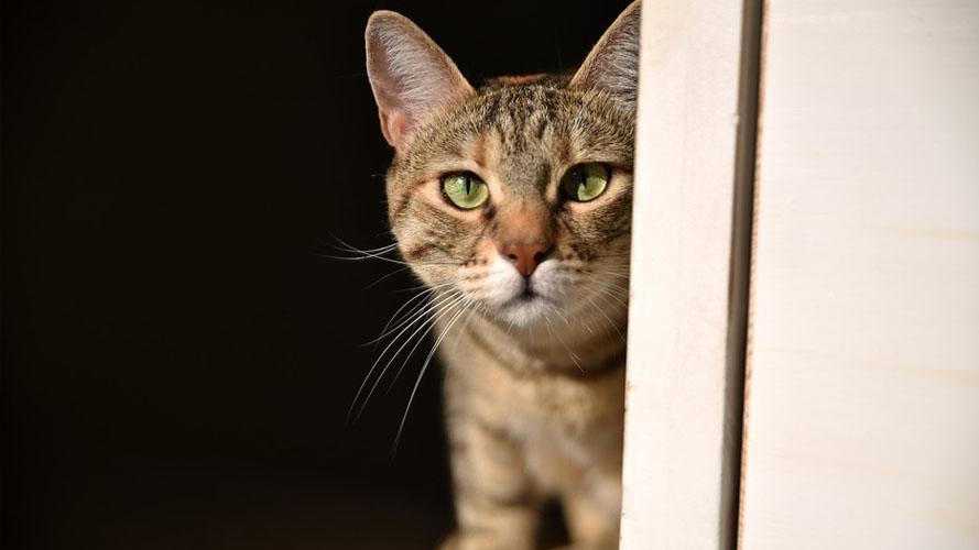 Guarigione paraplegia dopo fisioterapia del gatto a casa