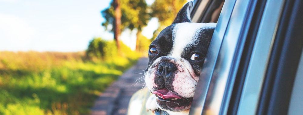 taxi-dog-torino